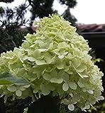 Rispen-Hortensie Hydrangea paniculata - Limelight - -R- - sehr frosthart, robust, duftend - 40-60 cm