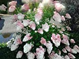 Rispenhortensie `Vanille Fraise´, Hydrangea, mehrfach verzweigt, 60-80cm, im Topf