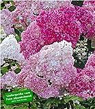 BALDUR-Garten Freiland-Hortensie'Vanille Fraise' im 2-Liter Hydrangea paniculata 1 Pflanze