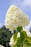 Rispenhortensie Hydrangea paniculata 'Limelight' -S- ca. 40-60cm im Topf gewachsen