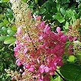 Müllers Grüner Garten Shop Rispenhortensie Pinky Winky ® Hydrangea paniculata zweifarbige Blüten ca 40-60 cm 3-5 Liter Topf