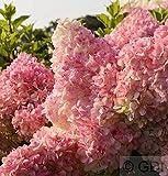 Rispenhortensie Vanille Fraise 60-80cm - Hydrangea paniculata