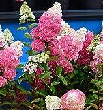 Rispenhortensie Fraise Melba 40-60cm - Hydrangea paniculata