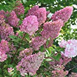 Rispenhortensie Sundae Fraise weiß-rosa - Hortensie winterhart & mehrjährig - Hydrangea paniculata - 1 Pflanze von Garten Schlüter - Pflanzen in Top Qualität