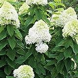 Rispenhortensie Limelight weiß-rosa - Hortensie winterhart & mehrjährig - Hydrangea paniculata - 1 Pflanze von Garten Schlüter - Pflanzen in Top Qualität