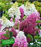 BALDUR-Garten Freiland-Hortensie'Fraise Melba®', 1 Pflanze Hydrangea winterhart