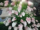 Rispenhortensie Pinky Winky, Hydrangea, 60-80cm im Topf